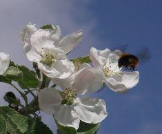 Kukkiva omenapuu ja kimalainen