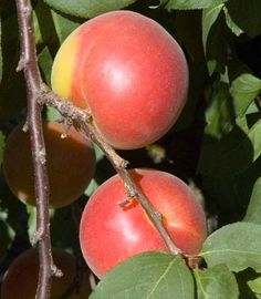Sweet Treat Pluerry. A complex hybrid cross between a Plum and a sweet Cherry. Skin is bright red over a sweet, juicy, yellow flesh. Combines the sweetness of a Cherry with the summer fresh taster of Plums. Fruit is large and hangs on the tree for several weeks after fully ripe. Semi-dwarf tree is upright and a heavy producer. Requires pollination from a Santa Rosa or Burgundy Plum. 450 chill hours. Zones 6-9.