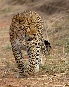 "The leopard, Panthera pardus, is a member of the Felidae family and the smallest of the four ""big cats"" in the genus Panthera, the other three being the tiger, lion, and jaguar."