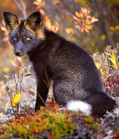 Rare and Elusive Silver Fox - The silver fox has black coloring and varying degrees of silver streaks. Its fur is so beautiful that the animal has been hunted for centuries because of this attractive feature.