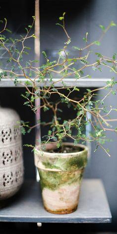 Sophora japonica  na
