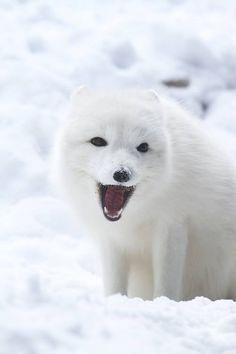 Happy Fox by Mark Dumont