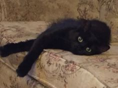 She looks like toothless the dragon. Kittens, Cats, Toothless, Dragon, Animals, Cute Kittens, Gatos, Kitty Cats, Animaux
