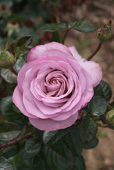 ~Rosa 'Blue Girl' ...France