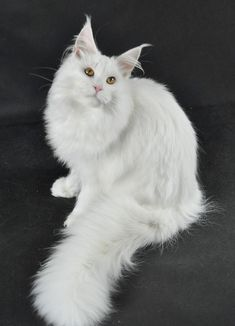 Maine Coon. http://www.mainecoonguide.com/maine-coon-vs-norwegian-forest-cat/