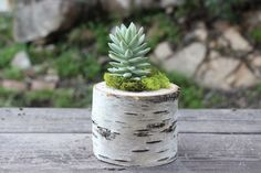 Birch Log Succulent Planter