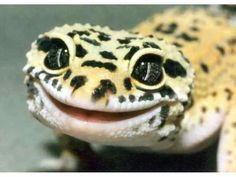 Smile! Cutest lizard/gecko I've seen in a long time!