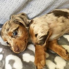 Glorious Diverse Dachshund Breed Tips And Ideas - lovely - Puppies Dachshund Funny, Dachshund Breed, Long Haired Dachshund, Mini Dachshund, Dapple Dachshund Miniature, Chocolate Dachshund, Miniature Dachshunds, Funny Dogs, Cute Dogs And Puppies