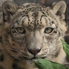 snow-leopard-13-ernie-echols.jpg (900×900)