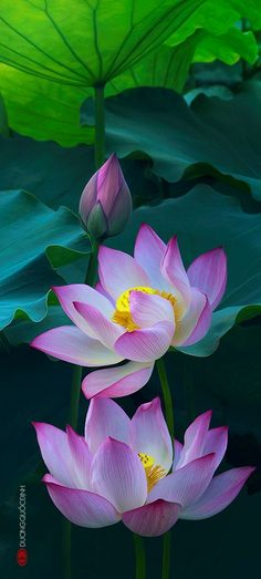 Magical beauty of lotus flowers – Flower of God