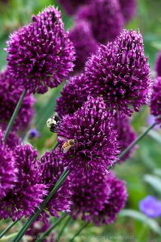 The large purple flowers of the Drumstick allium, a member of the ornamental onion family (Allium sphaerocephalon) Allium Sphaerocephalon, Bulb Flowers, Purple Flowers, Hidden Garden, Garden Plants, Flower Gardening, Natural Garden, Flower Pictures, Plant Care