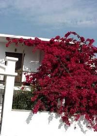 Bougainvillea would be great grown over the wall for the house. Haha, just try climbing through THESE thorns, creepers! Bougainvillea, Rock Garden Plants, Garden Types, Summer Vine, Beautiful Flowers, Beautiful Places, Platycerium, Crop Production, Tropical Flowers