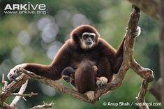Adult white-handed gibbon sitting on branch with infant on lap http://www.arkive.org/white-handed-gibbon/hylobates-lar/