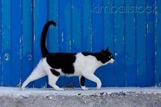 Black And White Greek Island Cat Walking By Blue Wooden Door  Photographer:Klein-Hubert/KimballStock