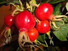 Les fruits des rosiers (cynorhodons) peuvent être aussi beaux que leurs fleurs au printemps...