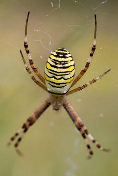 Epeire fasciée (Garden Spider)