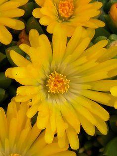Delosperma - Gold Nugget (Hardy Ice Plant)