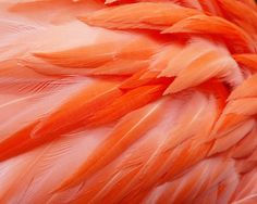 Pink Wall Art Flamingo Feathers Bird Fine Art Animal Photography Print Living Room Wall Art Living Room Wall Art. PRINT SIZE: Choose your size from the drop down menu. PRINTING: Photographs are printed on Kodak Endura Paper with a Luster finish. Frame and mat shown are for illustrative purposes only and are not included. All photographs are unmatted and 11x14 and under are signed on the back with acid free archival ink. SHIPPING: All smaller prints are shipped in a rigid mailer via USPS....