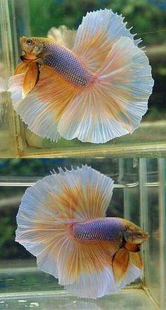 108 Best A Betta Life images in 2019 | Aquarium Fish, Betta, Exotic Fish