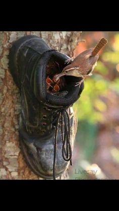 Wren's nest in old boot