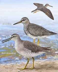 Gray-tailed Tattler - Whatbird.com