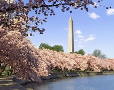 The cherry blossoms have already reached peak bloom, but you might still be able to see the pink petals on the gorgeous trees surrounding the Tidal Basin and Washington Monument. Plus, the city will be celebrating through April 17. The famed sakura trees were a gift from Japan in 1912. -- Spring Flower Festivals Around the World Photos -- 4-12-16 -- Architectural Digest