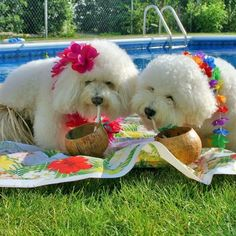 It's a Bichon Luau
