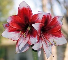 royal color amaryllis images - Google Search Temptation?  Substantial red coloring for the  Temptation?