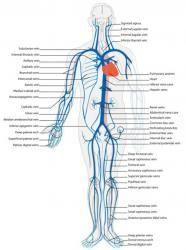 university of michigan gross anatomy – Anatomy facts Skeletal Muscle Anatomy, Human Body Anatomy, Arteries Anatomy, Nervous System Anatomy, Nerve Anatomy, Gross Anatomy, Arteries And Veins, Medical Anatomy, Circulatory System