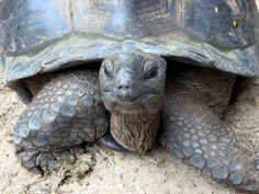 Closeup of an Aldabra tortoise in the Mont Fleuri Botanical Gardens at Victoria, Seychelles.