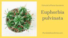 Euphorbia pulvinata - Fichas de Plantas Suculentas Cacti And Succulents, Cactus Plants, Cactus Y Suculentas, Air Plants, Virginia, Garden Ideas, Gardening, Patio, Gardens
