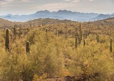 Did you see the earlier posted deal- Lowest price on Lightroom/Photoshop - visit http://photorec.tv/deals for more info.  Desert Layers.  Shooting into the sun let me capture each #saguarocactus #backlit with that lovely little golden crown of prickly death lit up on each and every one - and then there are those peaks in the distance.  I composed as carefully as possible to avoid cutting and #cactus off.  Captured with the #SonyAlpha #A7RII and #70200mm //extras #CPL filter