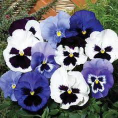 Pansy Oceana - This designer mix of dramatically flowering Pansies in tones of purple and white will bring your borders and pots to life in the Winter months! http://www.jerseyplantsdirect.com/pansy-oceana-70-garden-ready