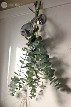 How To Take An Aromatic Eucalyptus Shower   If you are looking for respiratory relief, then a eucalyptus shower is just what you need.