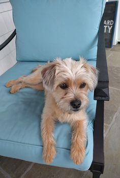 Chillin' with My Alice. Cairn Terrier/Jack Russel Mix/ Norfolk terrier/Yorkie mix #Terriermix