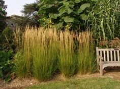 miscanthus 39 giganteus 39 pflanzen pinterest. Black Bedroom Furniture Sets. Home Design Ideas