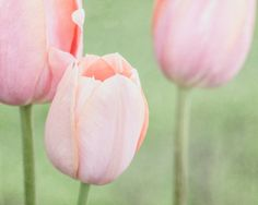 Pink Tulip Print Tulip Wall Art Pink by PaulaGoffPhotography