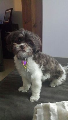 Excellent  For Haircuts For Shih Poo Dogs  Black Hairstyle And Haircuts
