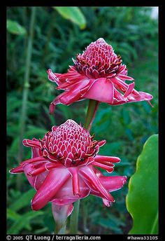 Torch Ginger ~ Hawaii