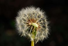 #dandelion #dandelion seeds #garden #happiness #happy #magic #nature #nature photography #patterns #sunny #texture #wishes