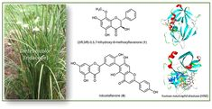 Probing the Antiallergic and Anti-inflammatory Activity of Biflavonoids and Dihydroflavonols from Dietes bicolor