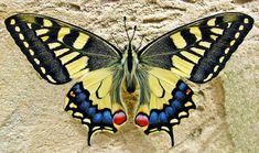 Find images of Swallow Tailed Butterfly. ✓ Free for commercial use ✓ No attribution required ✓ High quality images. Types Of Butterflies, Beautiful Butterflies, Paper Butterflies, Free Photos, Free Images, Art Papillon, Butterfly Pictures, Chenille, Good Morning Images