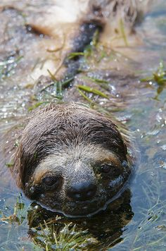 It's images like this, of a sloth perfectly at home in the water, that make me feel a sort of kinship with these creatures.  That's exactly how I feel when I enter the water.