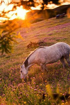 This is a beautiful pic of a dapple grey horse eating in a field of grass and wild flowers. Amazing golden glow from the sunset covering the countryside and making the horse glow almost pink. Awesome pic!