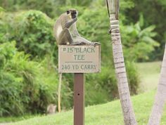 Limin' away on a golf sign.  It is a monkey's life on #Nevis via @Four Seasons Resort Nevis, West Indies #Caribbean