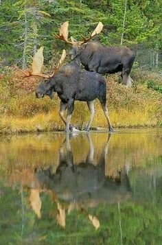 A Square-off soon to be..... Moose Deer, Bull Moose, Moose Hunting, Alaska Hunting, Big Game Hunting, Nature Animals, Animals And Pets, Cute Animals, Moose Pictures