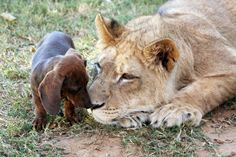 A lion and an dog have formed an unlikely friendship, proving that cats and dogs really can get along. Bonedigger the lion and Milo the dachshund live together at Garold Wayne Ex. Dachshund Puppies, Dachshund Love, Dachshunds, Wiener Dogs, Unusual Animals, Cute Animals, Wild Animals, Unlikely Friends, Amor Animal