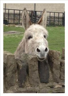 An Irish donkey in search of love and a carrot!
