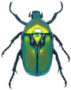... escarabajos son una maravilla. A mí, personalmente, los ibéricos me parecen espectaculares, pero a ti, para empezar, te enseñaré alguno tropical.