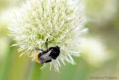 Native bumblebees working alongside other bee species will improve pollination over Honey bees working alone. Photo courtesy iStockphoto/Thinkstock (HobbyFarms.com)